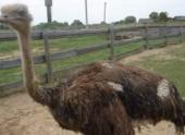 Фермер из Волгоградской области будет выращивать страусов для цирков и зоопарков