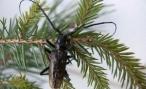 В волгоградском лесу обнаружен сосновый усач