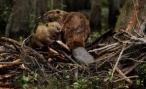 1 октября откроется сезон охоты на бобра, ондатру и водяную полевку