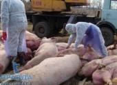 Под Волгоградом из-за чумы уничтожат две тысячи свиней