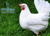 Яйца новой породы несушек идеально подходят для производства вакцины
